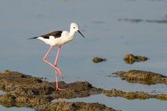 pernas de pau Preto-voado que anda e que encontra o alimento na área intertidal litoral foto de stock royalty free