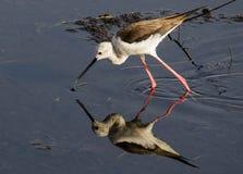 Pernas de pau voado preto em uma água no lago, reflexão de espelho bonita do pássaro do pernas de pau imagem de stock