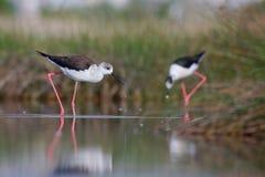 Pernas de pau voado preto (himantopus do himantopus) Foto de Stock