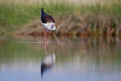 Pernas de pau voado preto (himantopus do himantopus) Imagens de Stock Royalty Free