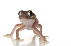 Pernatty Knopf band Gecko an lizenzfreie stockbilder