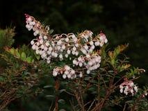 Pernettya coriacea is endemic for Poas Volcano. Royalty Free Stock Image