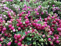 Pernettya Mucronata with reddish pink berries and green leaves Royalty Free Stock Photography