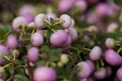 Pernettya rosa-chiaro Fotografie Stock Libere da Diritti