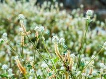 Perni d'argento dei fiori Fotografie Stock Libere da Diritti
