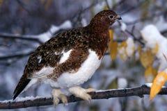 Pernice bianca che cammina su un ramo nevoso (lagopus del Lagopus), Al del salice Fotografia Stock Libera da Diritti