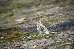 Pernice bianca maschio della roccia nelle Svalbard Fotografia Stock Libera da Diritti