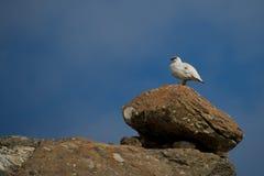 Pernice bianca maschio sulla cresta che sta sul masso immagine stock