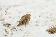 Pernice selvaggia nell'inverno nevoso Fotografia Stock Libera da Diritti