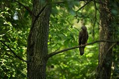 Pernis apivorus. Enlarged in Europe and West Asia. The wild nature of the Czech Republic. Beautiful image of nature. Wild nature. From bird life. Czech Stock Images