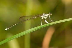 Perno de la libélula en verde Fotografía de archivo libre de regalías