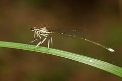 Perno de la libélula en verde Imagen de archivo