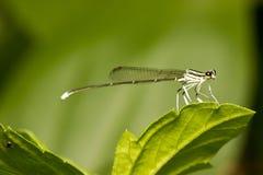 Perno de la libélula en verde Foto de archivo