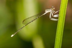 Perno de la libélula en verde Imagen de archivo libre de regalías