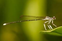 Perno de la libélula en verde Fotos de archivo libres de regalías