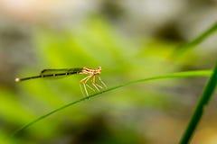 Perno de la libélula en verde Imágenes de archivo libres de regalías