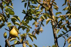 Baia Mare Pear Tree Fotografia Stock