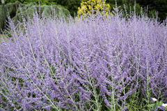 Perovskia atriplicifolia Royalty Free Stock Images