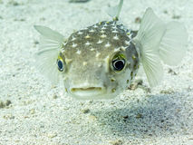 Perplexed Porcupine Fish Royalty Free Stock Image