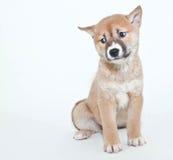 Perplexed Puppy Stock Photo