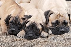 Perrito 100 de Bullmastiff Imagenes de archivo