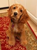 Perrito #2 del perro de aguas de cocker Fotografía de archivo