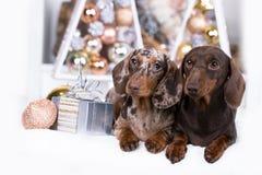 Perrito, Año Nuevo del perro basset del perro de la Navidad fotos de archivo libres de regalías
