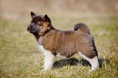 Perrito adorable de Akita del americano foto de archivo