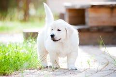 Perrito adorable del golden retriever imagen de archivo libre de regalías