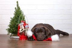 Perrito adorable del labrador retriever que presenta para la Navidad dentro Imagenes de archivo