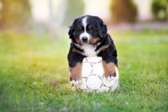 Perrito adorable del perro de montaña bernese con una bola del fútbol imagen de archivo