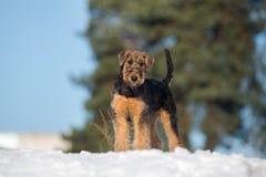 perrito adorable del terrier del airedale al aire libre en invierno fotografía de archivo libre de regalías