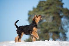 perrito adorable del terrier del airedale al aire libre en invierno imágenes de archivo libres de regalías