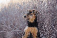 perrito adorable del terrier del airedale al aire libre en invierno fotos de archivo