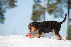 perrito adorable del terrier del airedale al aire libre en invierno fotos de archivo libres de regalías