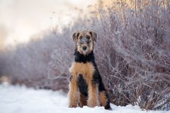 perrito adorable del terrier del airedale al aire libre en invierno foto de archivo libre de regalías