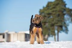 perrito adorable del terrier del airedale al aire libre en invierno fotografía de archivo