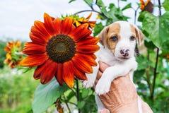Perrito adorable a disposición y girasol en jardín Imagen de archivo libre de regalías