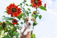 Perrito adorable a disposición y girasol en jardín contra la perspectiva del cielo Imagenes de archivo