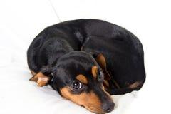 Perrito adorable en el fondo blanco Imagen de archivo