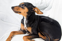 Perrito adorable en el fondo blanco Fotos de archivo libres de regalías
