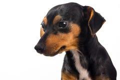 Perrito adorable en el fondo blanco Foto de archivo libre de regalías