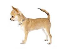 Perrito agradable de la chihuahua con el collar imagen de archivo