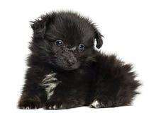 Perrito alemán del perro de Pomerania que se acuesta, 8 semanas de viejo, aislado foto de archivo