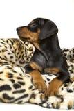 Perrito alemán del Pinscher del negro y del moreno Fotografía de archivo