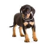 Perrito alemán del Pinscher del negro-y-moreno criado en línea pura Foto de archivo