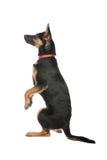 Perrito alemán lindo de Shephed Imagen de archivo