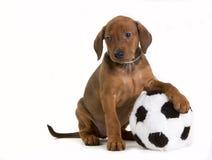 Perrito alemán lindo del Pinscher con el juguete Foto de archivo