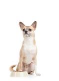 Perrito amarillo claro cerca del cuenco con forraje Fotos de archivo libres de regalías