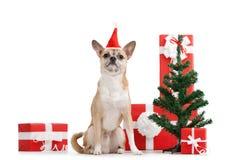 Perrito amarillo claro en casquillo rojo cerca de los presentes Imágenes de archivo libres de regalías